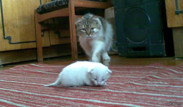 Этот взгляд. Пока кошка не видела вытащил у нее одного котенка и положил на пол. Котенок мяукнул. Когда я увидел этот взгляд... Может мне на время уйти из дома?