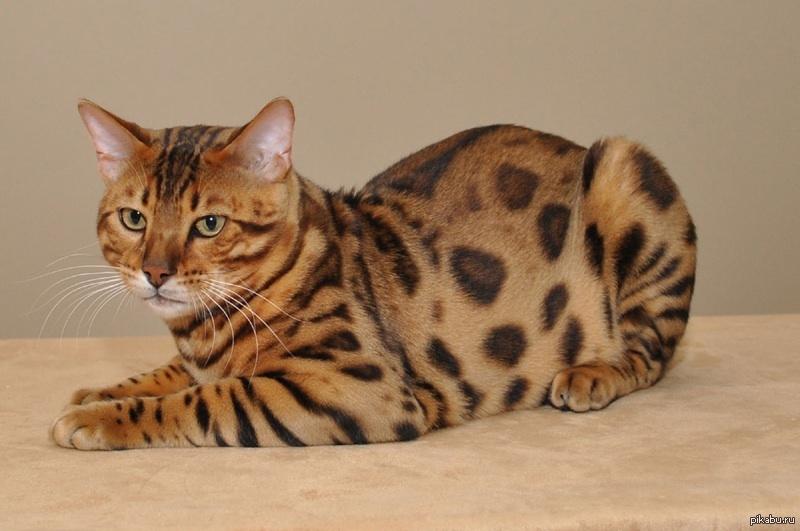 особенности породы бенгальской кошки