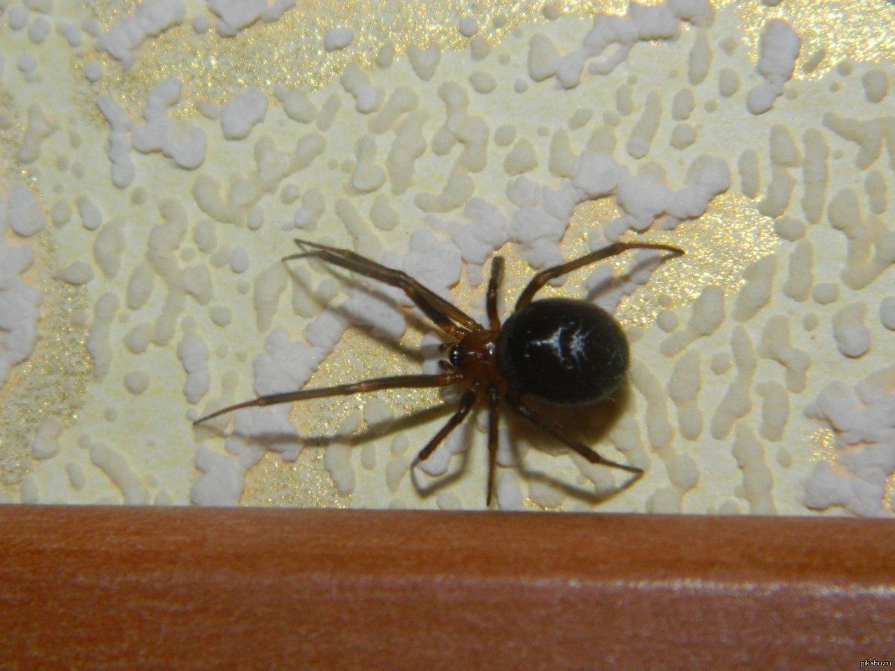 домашний черный паук фото чтобы завтрак